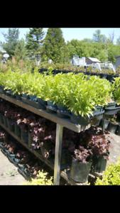 Arbustes et vivaces à vendre