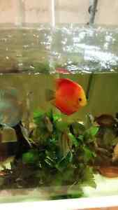 Freshwater fish for sale high quality and diverse  West Island Greater Montréal image 5