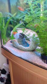 Angelfish, guppies tropical fish