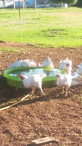 Free Range Chicken Available Aug 17