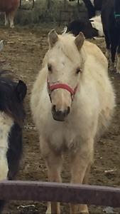 Welsh paint crossed colts for sale
