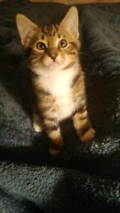 Bengal hybrid kittens