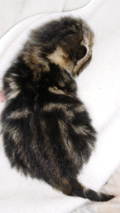 CUTE marble bengals #FREE DELIVERY JUNE 3