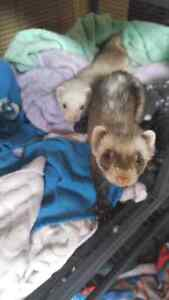 2 Bonded Ferrets, cage, food and accessories for sale