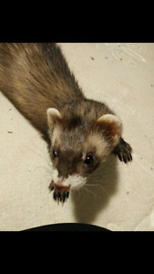 2 ferrets need a new home