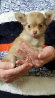 Tiny Chihuahua Puppies ~ Parents On Site ~ Raised In Our Home