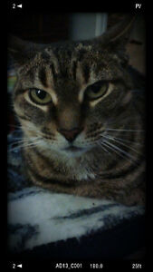 Lucy - Lost Female Cat - Brown Tabby Shorthair