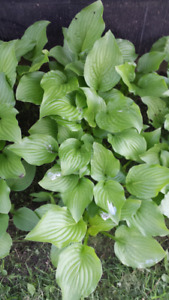Green leaf hosta's