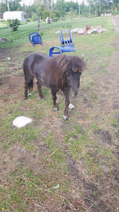 Two Miniature Horses for Rehoming