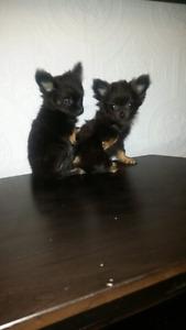 Micro teacup pomeranian puppies