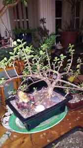 The Jaded Bonsai Collection.  Cambridge Kitchener Area image 10
