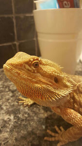 2 YR Old Bearded Dragon, Comes with everything you need