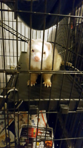 2 ferrets for a good home