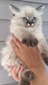 Ragdoll kittens $800