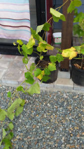 seedless green grape plants