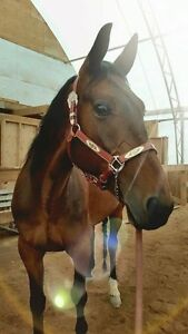 Beautiful standardbred gelding for sale