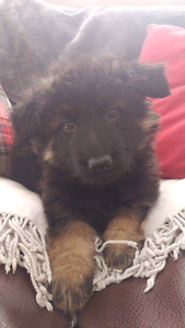 Purebred German Shepard puppies for sale