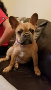 6 month old Female French Bulldog