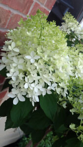 Beautifully Blooming Tree Form Hydrangea _ pending pick up