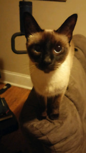 Siamese in need of a good home.