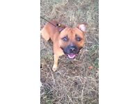 2 year old mastiff cross needs energetic new home