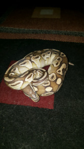 Ball pythons sale or trade