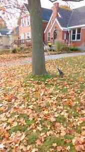 """Leaf Clean Up. """"Call Chubby's Lawn Care"""" 519-496-1108 Kitchener / Waterloo Kitchener Area image 1"""