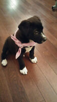 Labrador boxer mix puppy, Fully vaccinated in great health