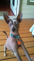 Chinese Crested Hairless Male