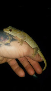 Reefs N Reptiles   Golden gecko and more