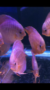 Discus Fish  Angel Fish Flowerhorn Arowana Pleco Gold Fish Koi