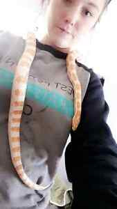 Corn snakes Stratford Kitchener Area image 2
