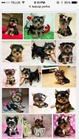 Wanted: teacup yorkie