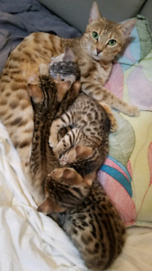 Adorable Bengal kittens ready for Xmas rehoming!!!