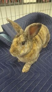 1.5 year old neutered male mini rex needs a loving home