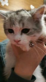 Chinchilla persian x ragdoll male kitten.