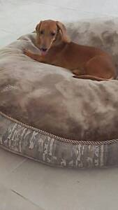 Miniature Dachshund Smoothhair Female With Papers Brisbane City Brisbane North West Preview