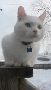 Pure white cat missing. Old coach rd.