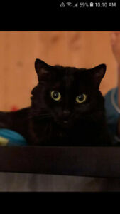 Black female cat to give away