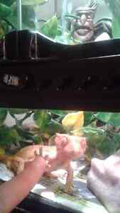 Male Crested Gecko plus Accessories West Island Greater Montréal image 2
