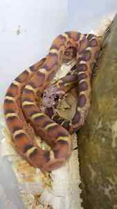 Scaleless okeetee corn snake