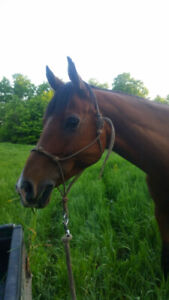 Beautiful Arabian available for part board