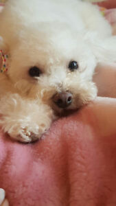 Toy Poodle Adult Spayed Female