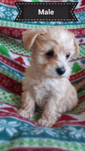 Small schnauzer/poodle (schnoodles)