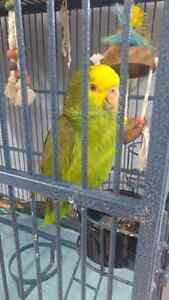 Double yellow headed Amazon Parrot