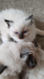 2 Beautiful ragdoll kittens