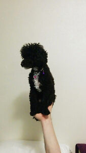 9 Month Old Pure Bred Female Toy Poodle Puppy