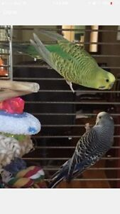 2 Male budgies without cage to a forever home