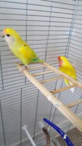Jeune couple inséparables avec grande cage Vision