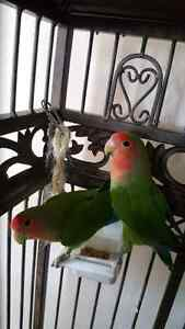 Two love birds for sale.